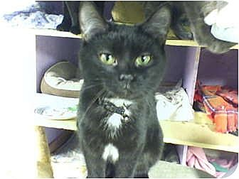 Polydactyl/Hemingway Cat for adoption in Bay City, Michigan - Holly