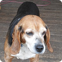 Adopt A Pet :: Lacy - Howell, MI