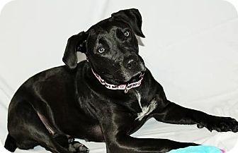 Labrador Retriever Mix Dog for adoption in Detroit, Michigan - Pantera-Adopted!