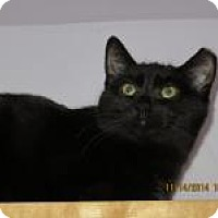 Domestic Shorthair Cat for adoption in Quilcene, Washington - Scarlet