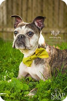 Boston Terrier Mix Dog for adoption in Newport, Kentucky - Nigel