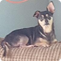Dachshund/Miniature Pinscher Mix Dog for adoption in Bunnell, Florida - Tiko