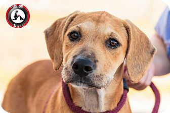 Black Mouth Cur Mix Puppy for adoption in Saddle Brook, New Jersey - J. K. Howling
