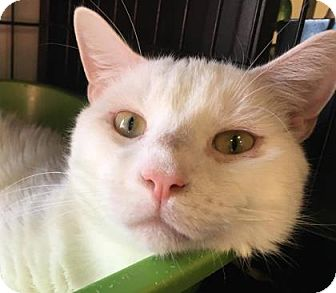Domestic Shorthair Cat for adoption in Voorhees, New Jersey - Jean-Luc-PetValu Somerdale