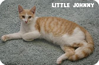 Domestic Shorthair Kitten for adoption in Island Heights, New Jersey - Little Johnny