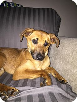 Jack Russell Terrier Mix Dog for adoption in WESTMINSTER, Maryland - Simba