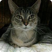 Domestic Shorthair Cat for adoption in Saginaw, Michigan - Faith