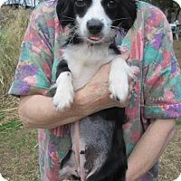 Adopt A Pet :: DOLLY - Williston Park, NY