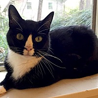 Adopt A Pet :: Tux - Oak Ridge, TN