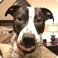Adopt A Pet :: Rocko - Dallas, TX
