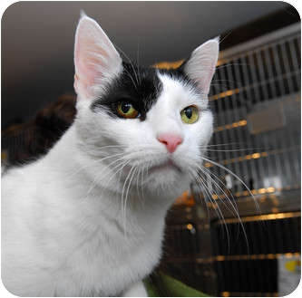 Domestic Shorthair Cat for adoption in New York, New York - Chi Chi