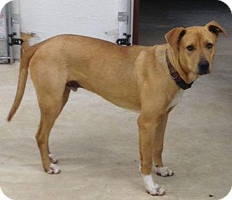 Labrador Retriever Mix Puppy for adoption in Manchester, Connecticut - Bo