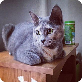 Domestic Shorthair Kitten for adoption in Chicago, Illinois - Ladybug