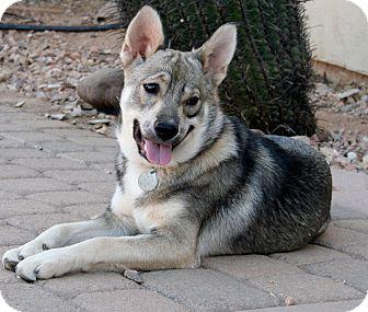 German Shepherd Dog/Keeshond Mix Puppy for adoption in Scottsdale, Arizona - Luna