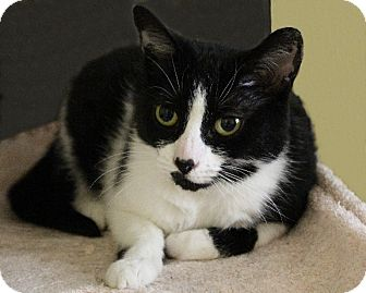 Domestic Shorthair Cat for adoption in Rochester, New York - Cinderella
