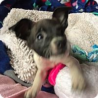Adopt A Pet :: Roxy - Vancouver, BC