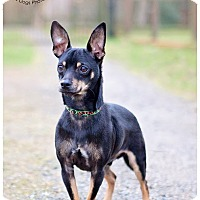 Adopt A Pet :: Nicko - Seattle c/o Kingston 98346/ Washington State, WA