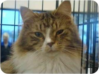 Domestic Longhair Cat for adoption in Muncie, Indiana - Cinderfella