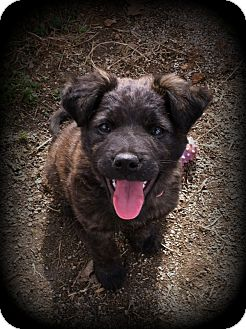 Akita/Spaniel (Unknown Type) Mix Puppy for adoption in Indian Trail, North Carolina - Mocha