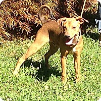 Adopt A Pet :: Brody - Bardonia, NY