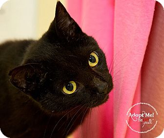 Domestic Shorthair Cat for adoption in tama, Iowa - Stewart