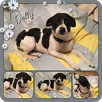 Terrier (Unknown Type, Small)/Feist Mix Dog for adoption in Manchester, Connecticut - Dolly-pending adoption