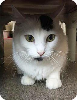 Domestic Shorthair Cat for adoption in Boca Raton, Florida - Sheila