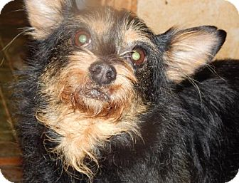 Australian Terrier/Yorkie, Yorkshire Terrier Mix Dog for adoption in Anderson, South Carolina - SYDNEE