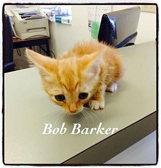 Domestic Shorthair Kitten for adoption in Dillon, South Carolina - Bob Barker