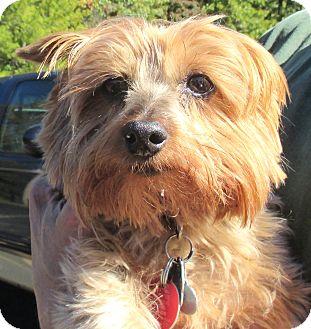 Yorkie, Yorkshire Terrier Dog for adoption in Reeds Spring, Missouri - Josey