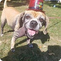 Pug/Beagle Mix Dog for adoption in Berea, Ohio - Suzi