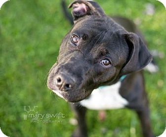 Pit Bull Terrier Mix Puppy for adoption in Reisterstown, Maryland - King Tut
