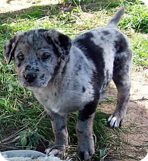 Australian Shepherd/Labrador Retriever Mix Puppy for adoption in Waller, Texas - Ariel