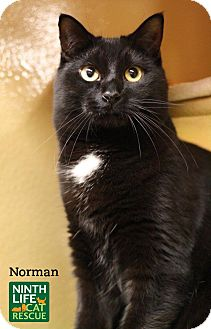 Domestic Shorthair Cat for adoption in Oakville, Ontario - Norman
