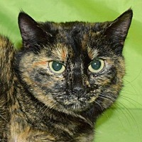 Domestic Shorthair Cat for adoption in Fairmont, West Virginia - Heather