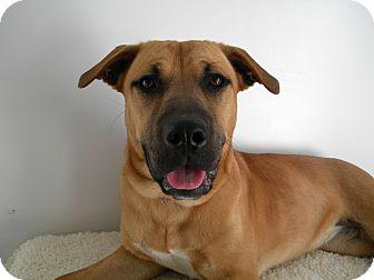 Labrador Retriever/Shepherd (Unknown Type) Mix Puppy for adoption in Monteregie, Quebec - Gracie