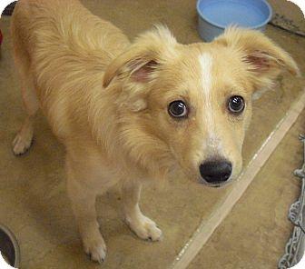 Border Collie Mix Puppy for adoption in Wickenburg, Arizona - Winston