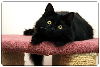 Domestic Mediumhair Cat for adoption in Sterling Heights, Michigan - Sig - ADOPTED!