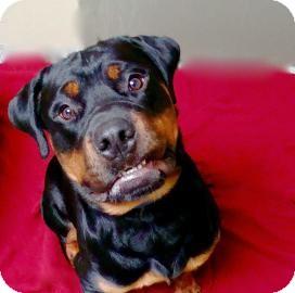 Rottweiler Dog for adoption in Jackson, Michigan - Haus