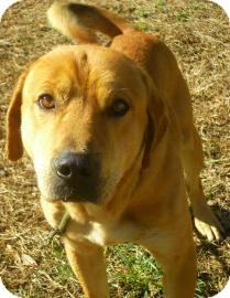 Golden Retriever/Labrador Retriever Mix Dog for adoption in Lincolnton, North Carolina - Boz