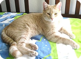 Domestic Shorthair Cat for adoption in North Highlands, California - Finch
