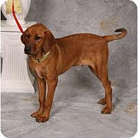 Adopt A Pet :: Rudy - Fort Hunter, NY