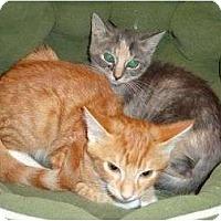 Adopt A Pet :: Angel - Reston, VA
