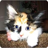 Adopt A Pet :: Cinnamon Girl - Catasauqua, PA