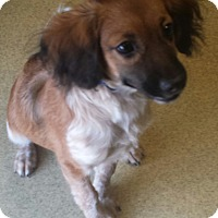 Adopt A Pet :: Candi - Sugarland, TX
