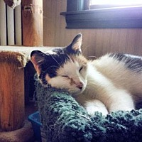 Calico Cat for adoption in Shakopee, Minnesota - Sidney C1122