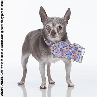 Chihuahua Mix Dog for adoption in Dallas, Texas - Angelica