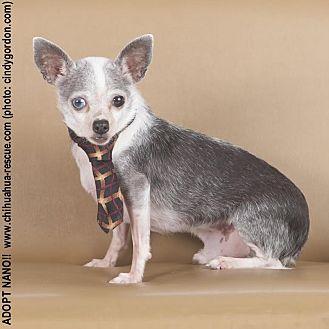 Chihuahua Mix Dog for adoption in Dallas, Texas - Nano