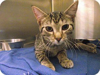 Domestic Shorthair Kitten for adoption in Chambersburg, Pennsylvania - Malibu