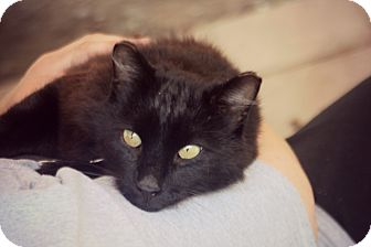 Domestic Mediumhair Cat for adoption in Thorp, Wisconsin - Knight